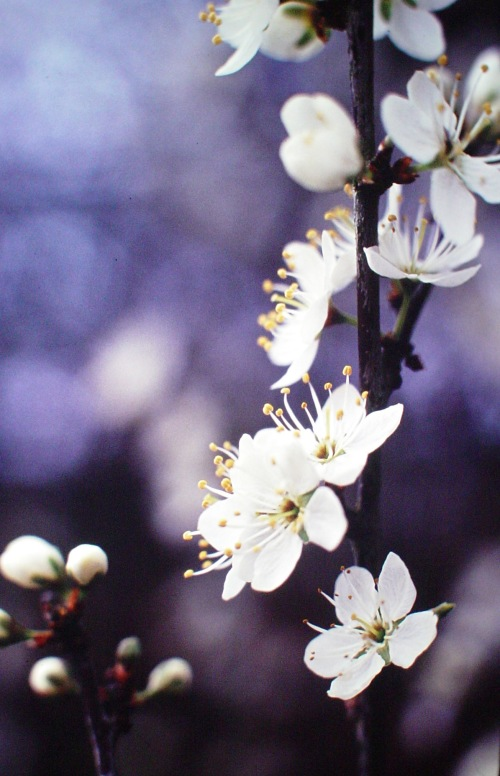blackthorn closeup1