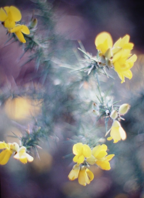 gorse spray