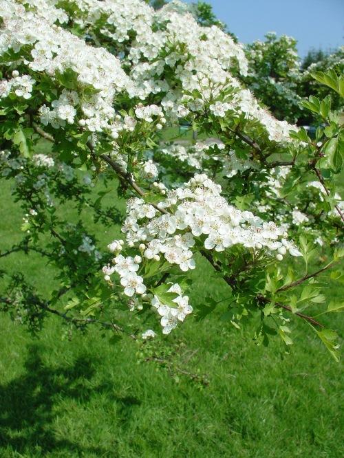 hawthorn blossom1